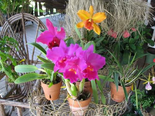 "Shelley""s Orchids"