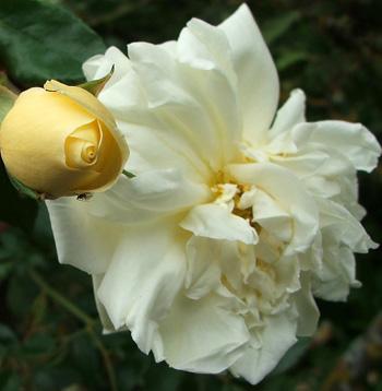 Rose 'Alberic Barbier'-916