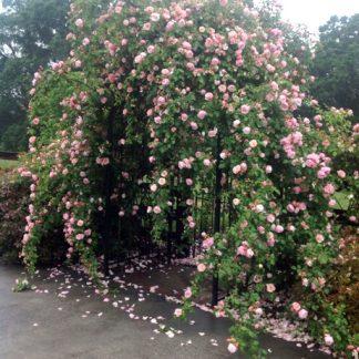 Rose 'Albertine'-0