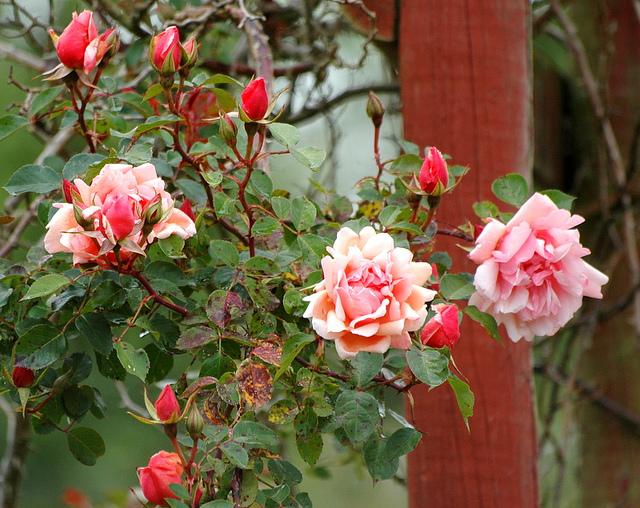 Rose 'Albertine'-919