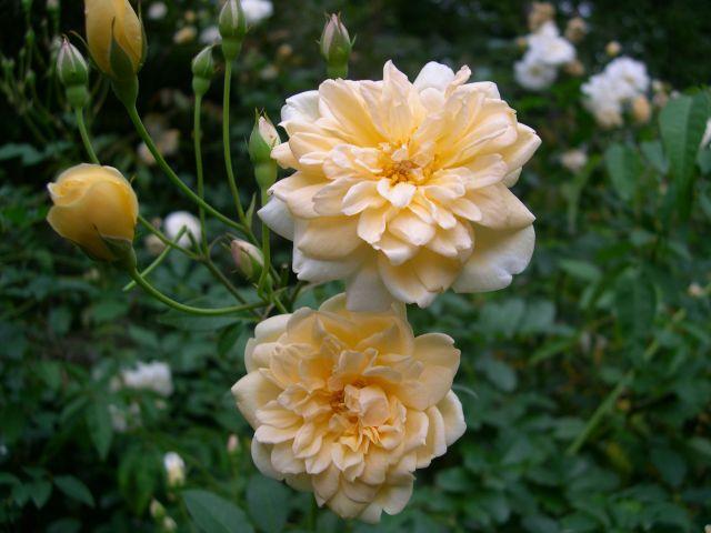 Rose 'Alister Stella Gray'-0