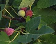 Fig 'Alma'-0