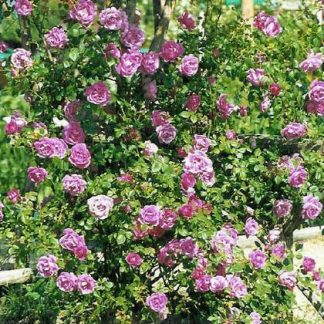 "Rose "" American Beauty' Climber-0"