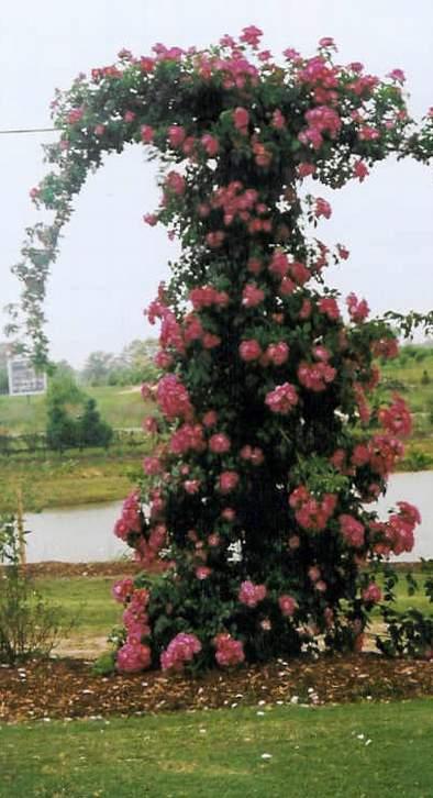 Rose 'American Pillar'-0