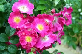 Rose 'American Pillar'-923