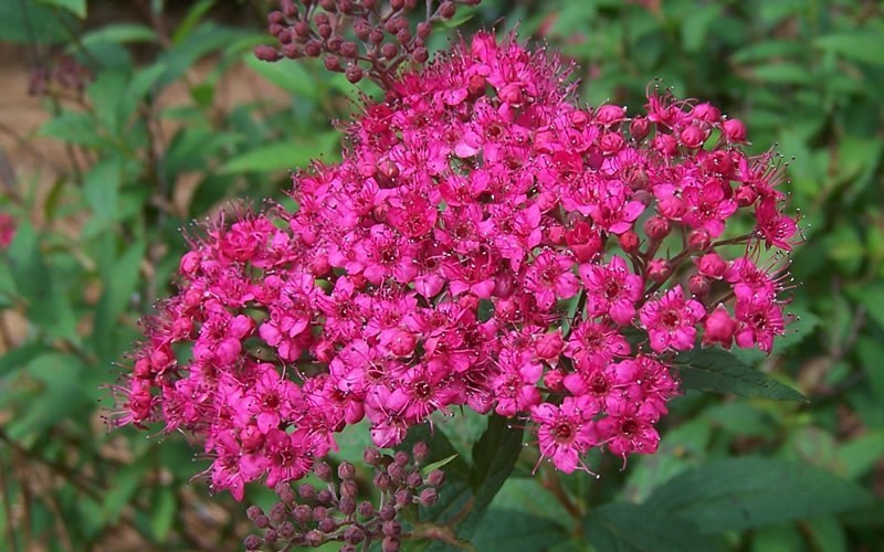 Spirea 'Anthony Waterer'-1147