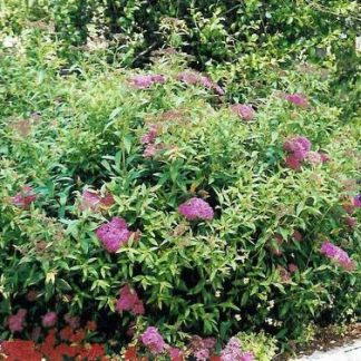 Spirea 'Anthony Waterer'-0