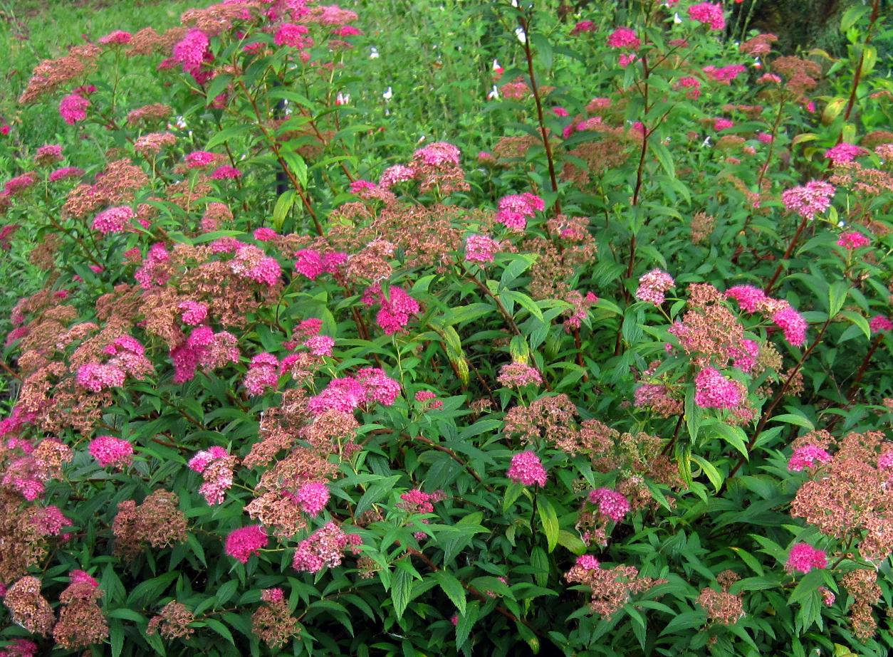 Spirea 'Anthony Waterer'-1148