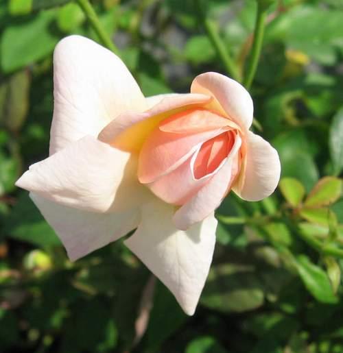 Rose 'Arethusa'-780