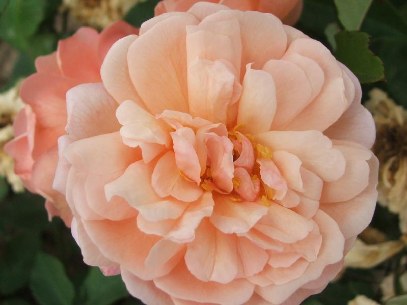 Rose 'Arethusa'-0