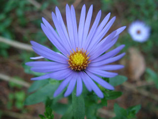 Aromatic Aster-0