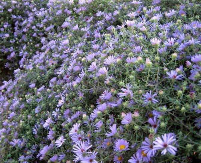 Aromatic Aster-1661