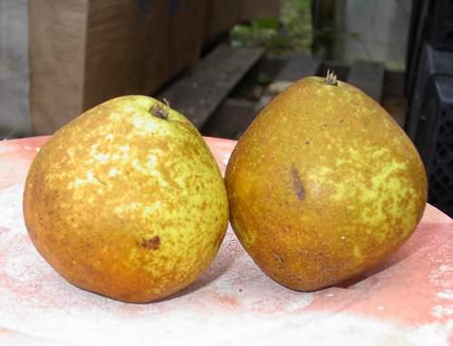 Asian Pear 'Shinko'-1340