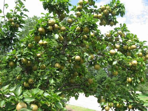 Asian Pear 'Shinko'-1701