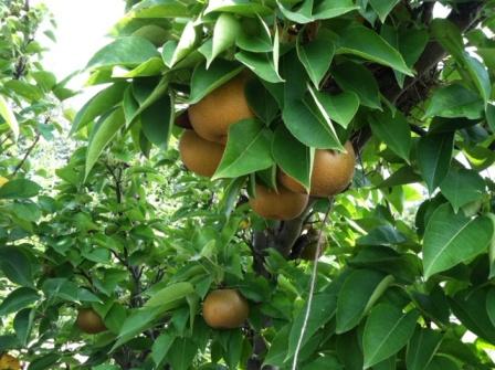 Asian Pears, Fresh Fruit-1493