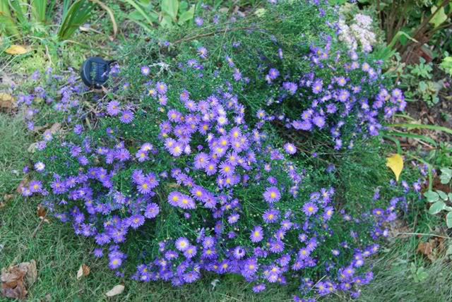 New England Aster 'Purple Dome'-1657