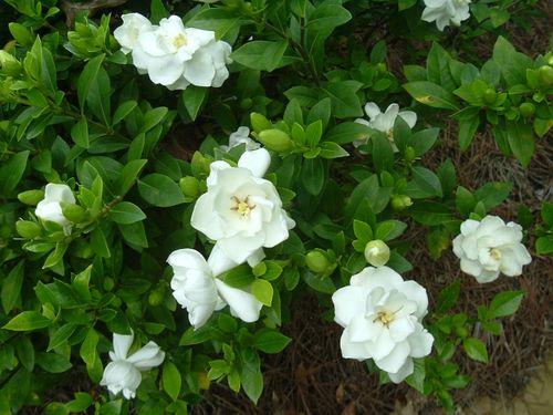 Gardenia 'August Beauty'-0