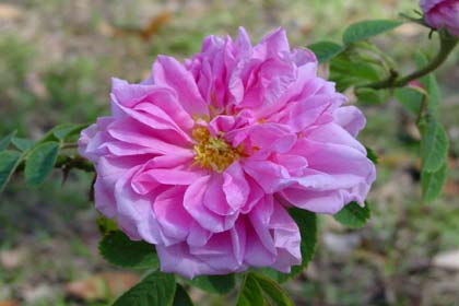 Rose 'Autumn Damask'-808