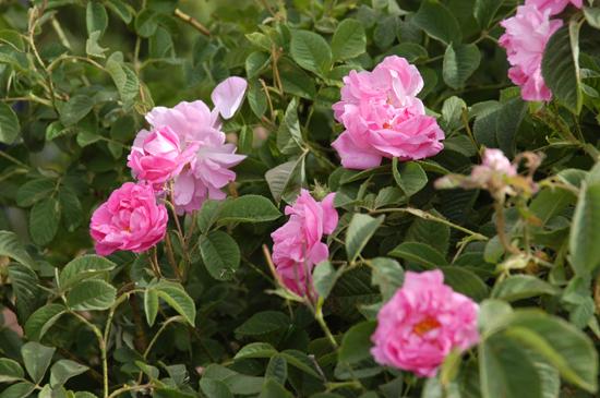 Rose 'Autumn Damask'-0