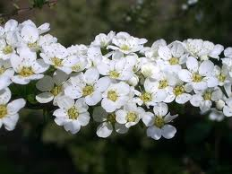 Spirea 'Baby's Breath'-1123