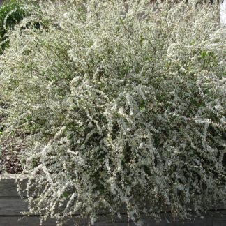 Spirea 'Baby's Breath'-0