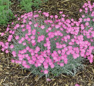 Dianthus 'Bath's Pink'-57