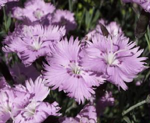 Dianthus 'Bath's Pink'-0