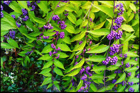 "Beautyberry ""Dwarf Purple'-1018"