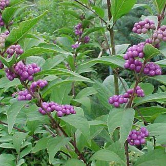 """Beautyberry """"Dwarf Purple'-0"""
