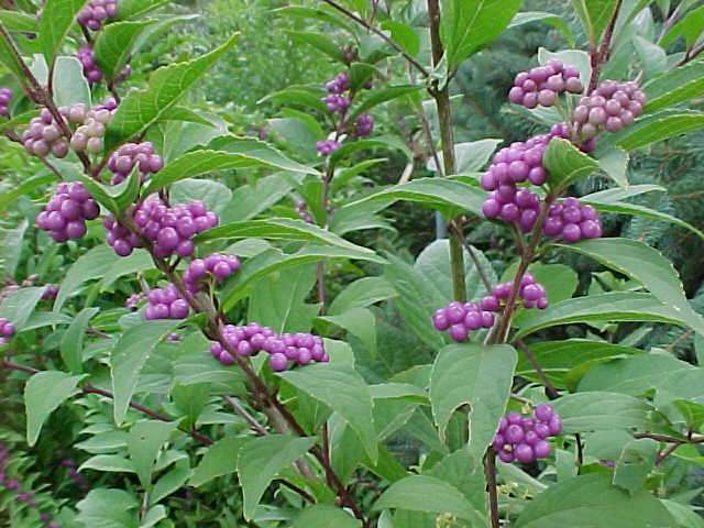"Beautyberry ""Dwarf Purple'-0"