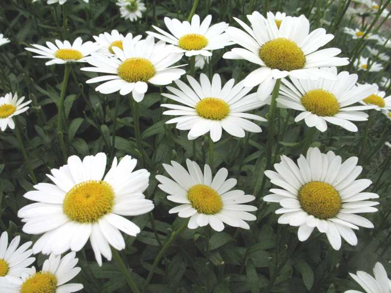 Shasta Daisy 'Becky'-255