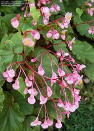 Begonia Grandis-314