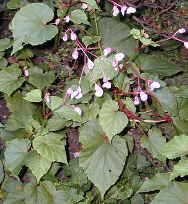 Begonia Grandis-0
