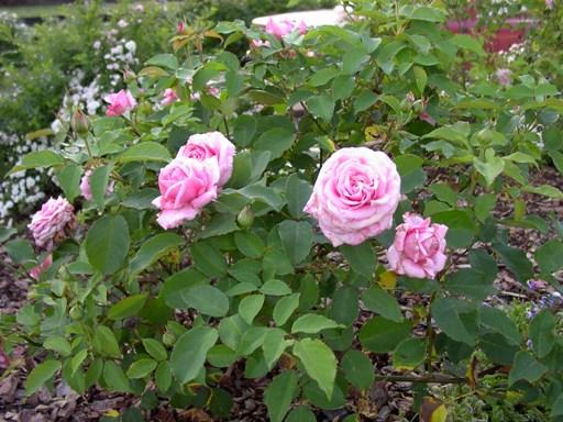 Rose 'Belinda's Dream'-0