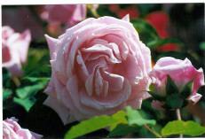 Rose 'Belinda's Dream'-836