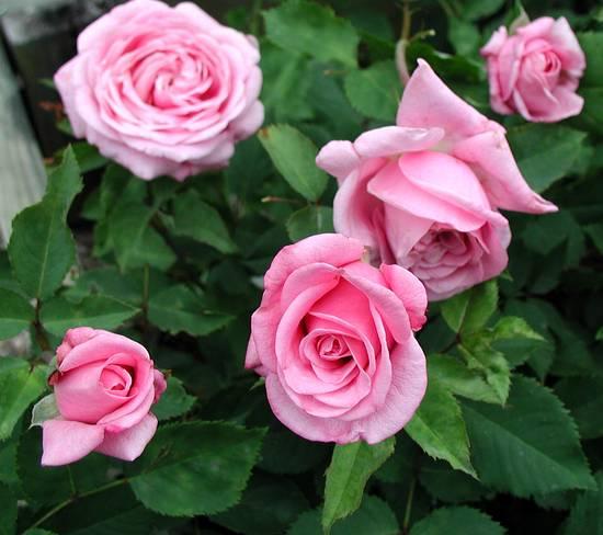 Rose 'Belinda's Dream'-838