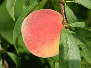 Peach 'Belle of Georgia'-0