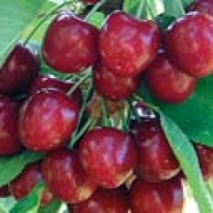 Cherry 'Benton'-0