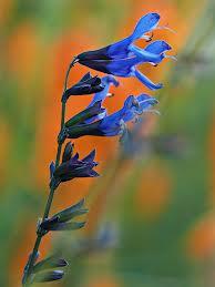 Salvia guaranitica ' Black and Blue'-235