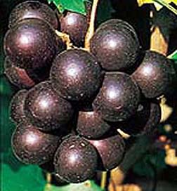 Muscadine 'Black Beauty'-1298