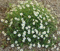 Blackfoot daisy-0