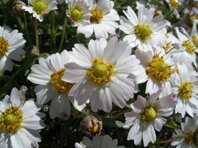 Blackfoot daisy-386