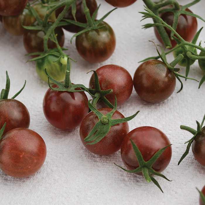 Tomato 'Black Opal'-0