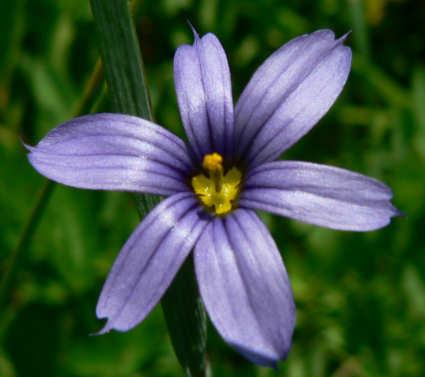 Blue-Eyed Grass-424