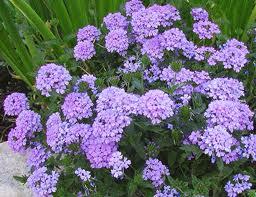 Verbena x hybrida 'Blue Princess'-269