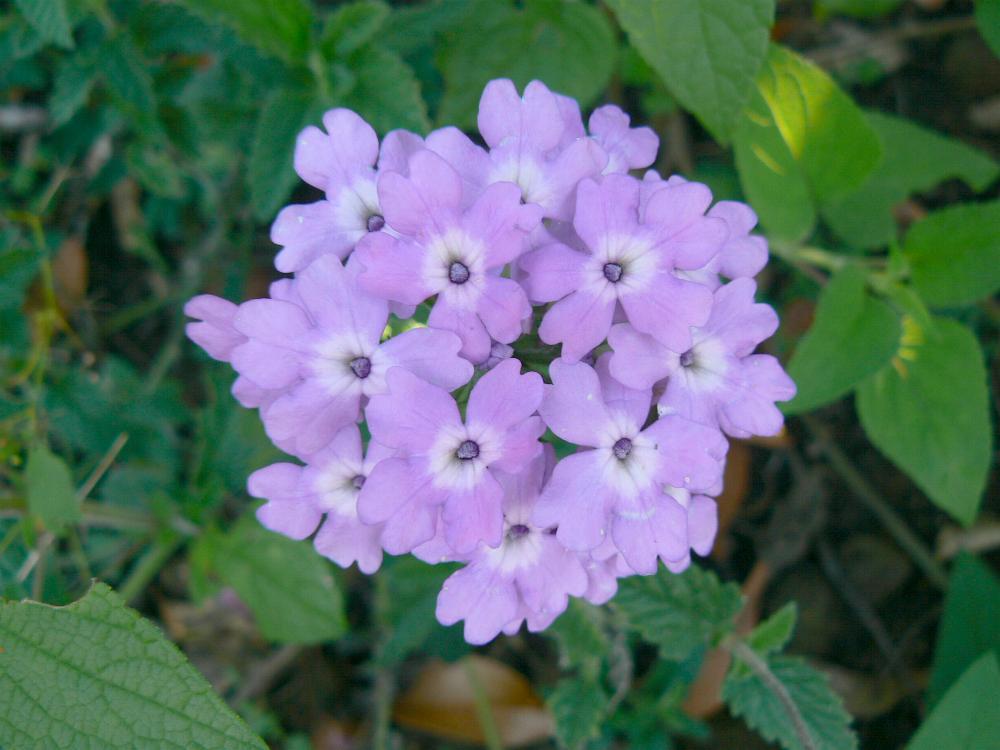 Verbena x hybrida 'Blue Princess'-268