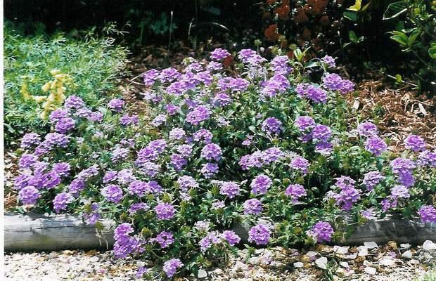 Verbena x hybrida 'Blue Princess'-0