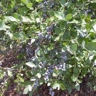Blueberry 'Brightwell'-0