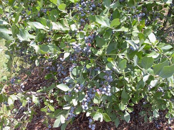 Blueberry 'Brightwell'-0
