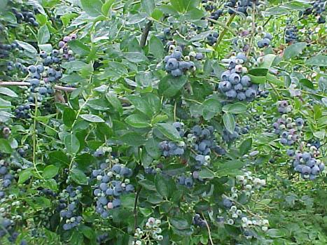 Blueberry 'Becky Blue'-0
